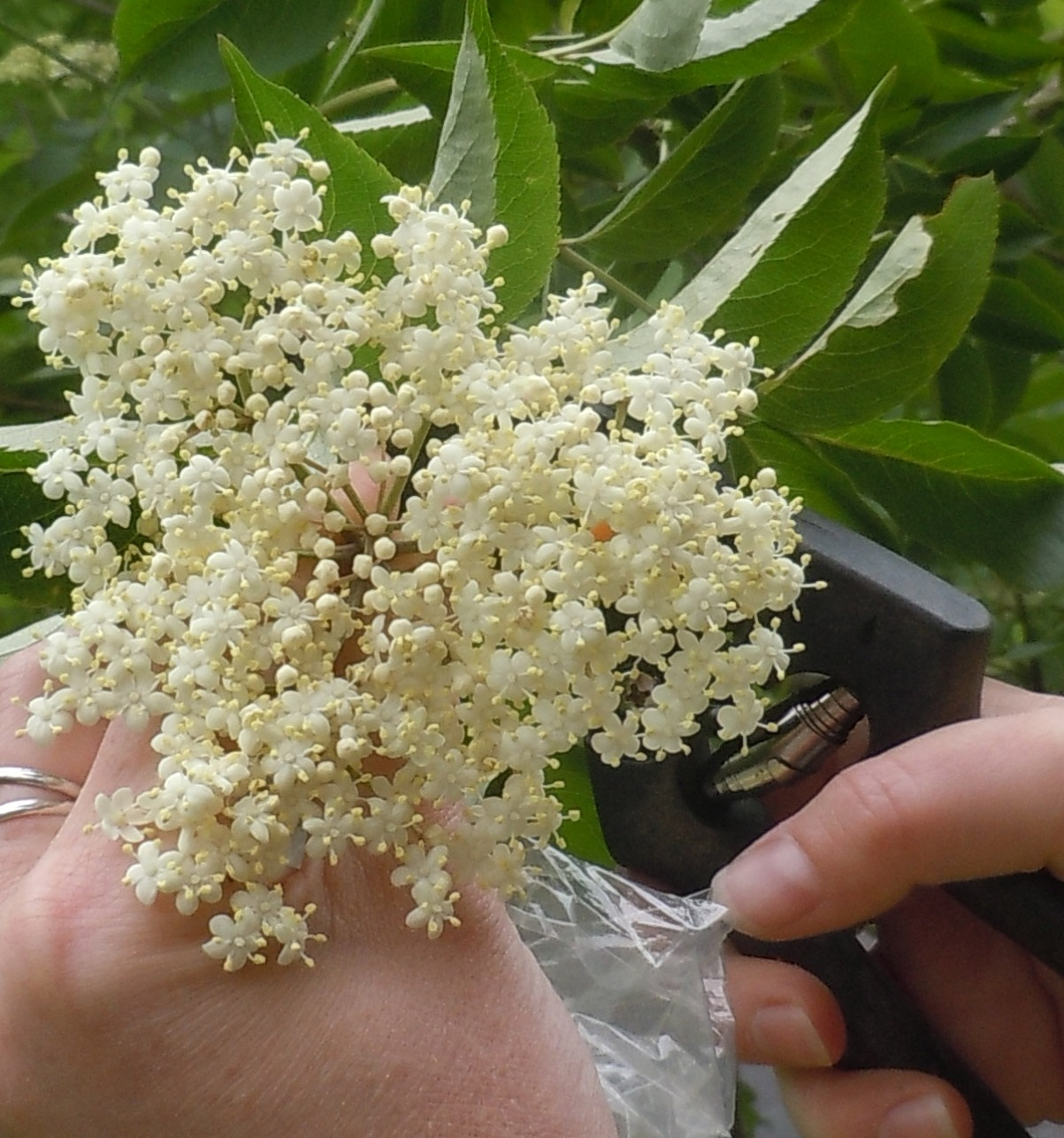Picking elder flowers